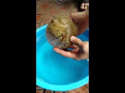 سمكة تغير حجمها عند إخراجها