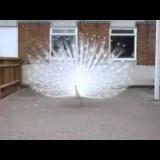 الطاووس الأبيض