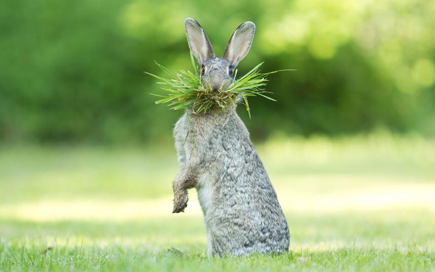 أرنب يأكل العشب