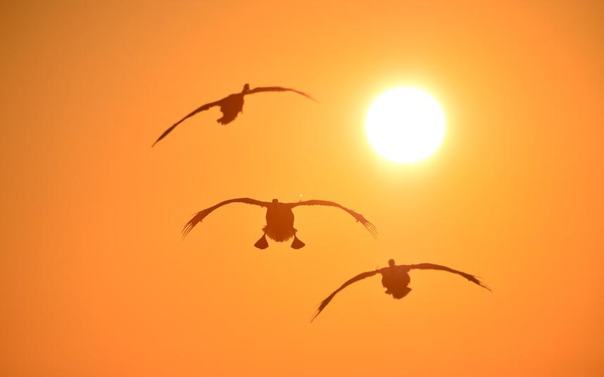 طيور البجع