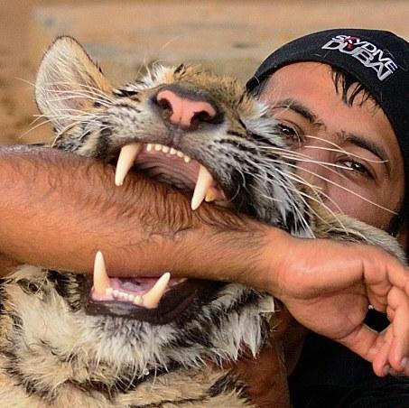 تدريب الأسود والنمور