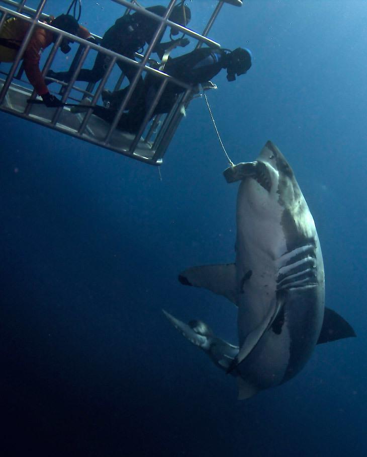 تقديم الطعام لأسماك القرش
