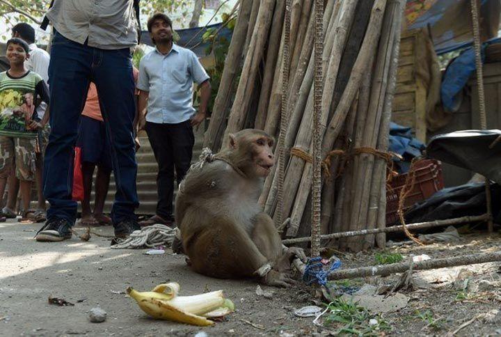 في الهند القرود تُعاقَب أيضاً على جرائمها