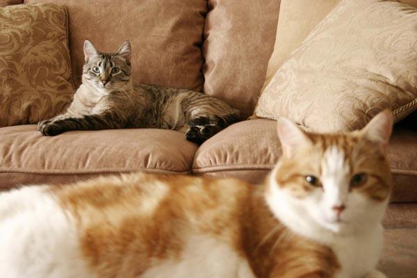لماذا يعاني بعض الناس من حساسية القطط