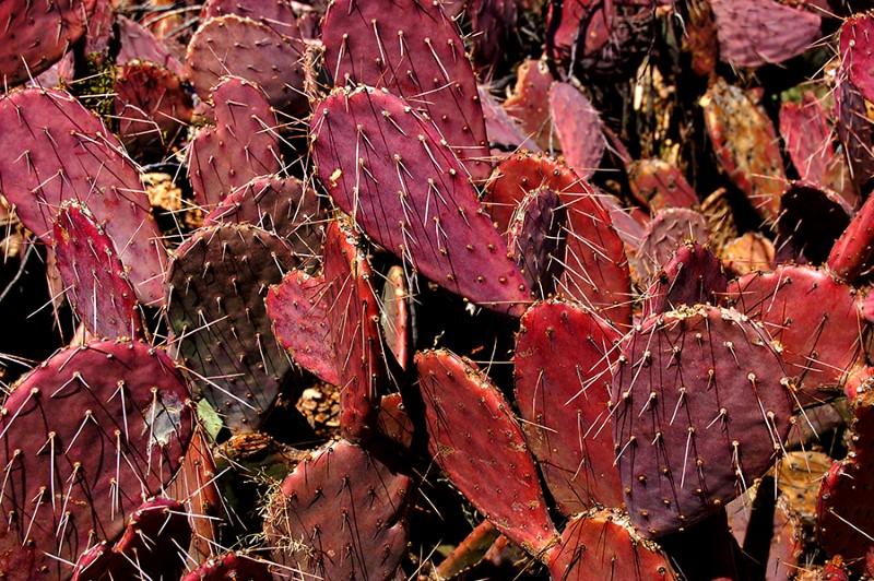 نبات الصبار يصبر على العطش