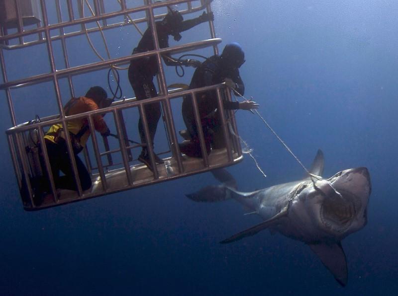 أسماك القرش أسفر الماء