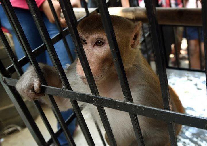 تعذيب قرود في الهند