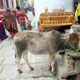 الأبقار