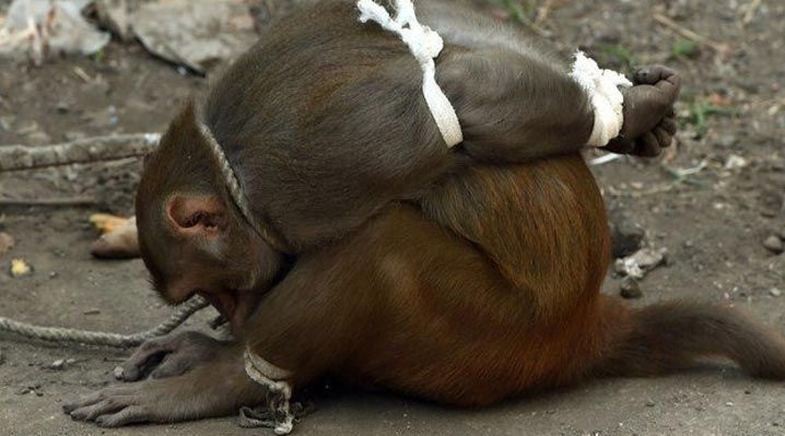 Punishing criminals monkeys in India