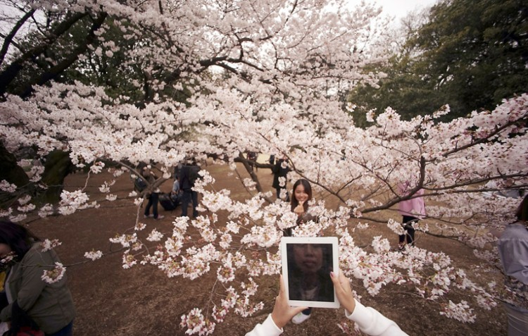 أشجار الكرز اليابانية
