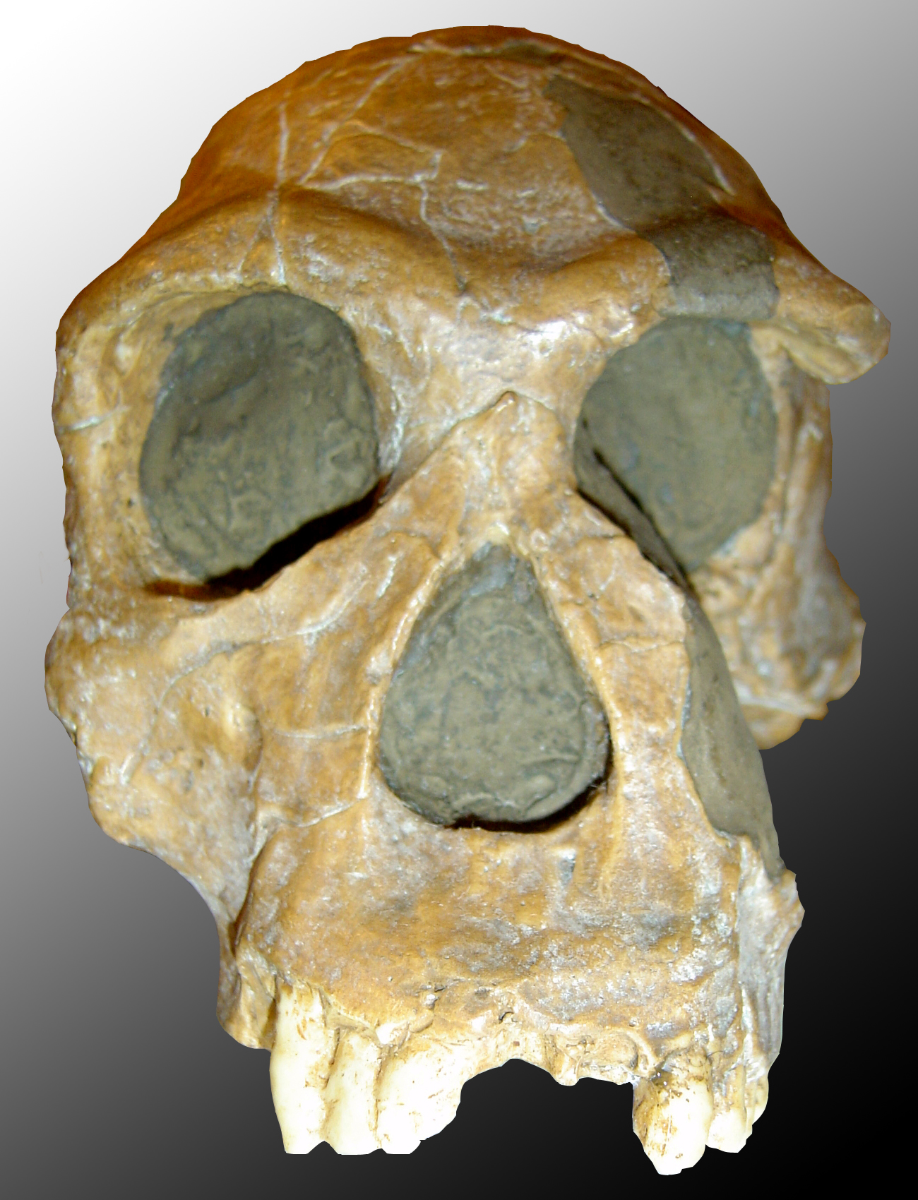 جمجمة هومو هابيليس