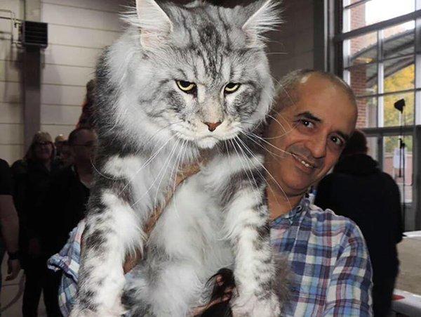 قطط ضخمة