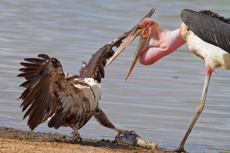 نسر وطائر اللقلاق