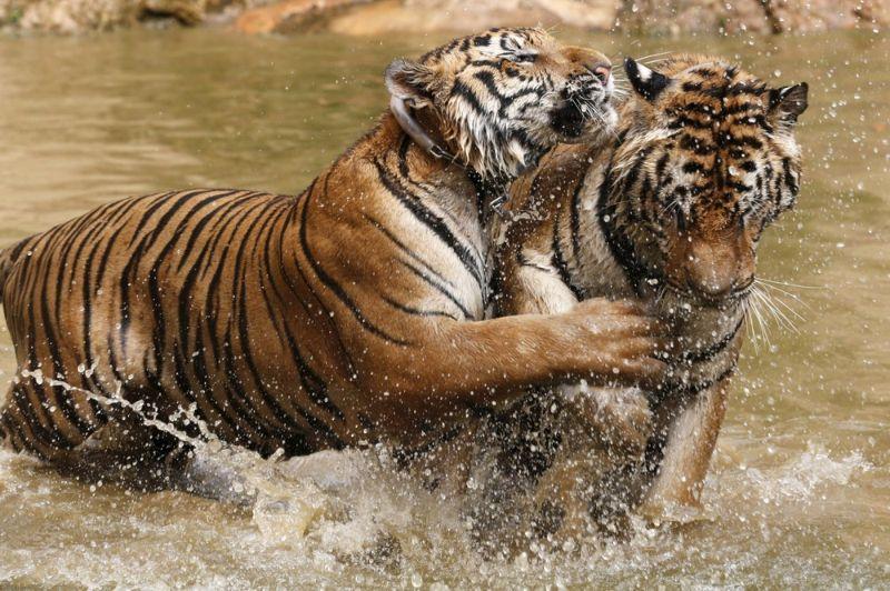 نمر يلعب