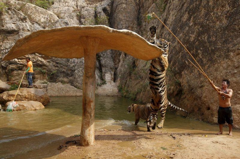 النمور