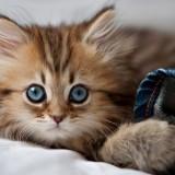 قطة نيوزيلندية