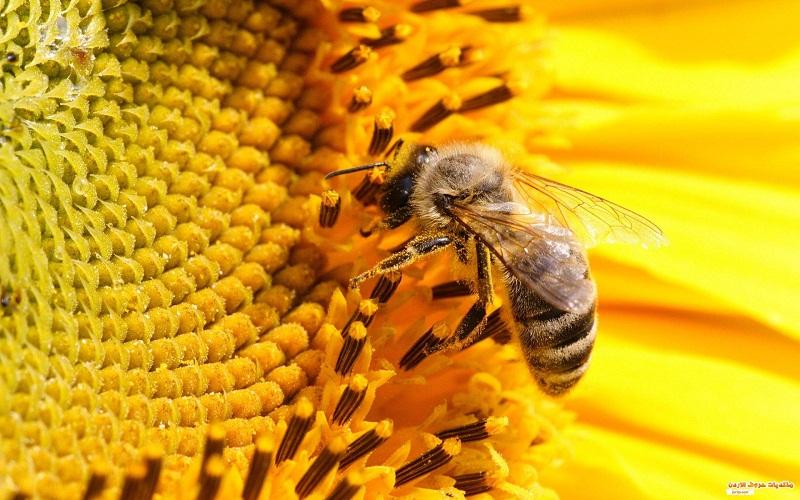 النحل بالاختفاء