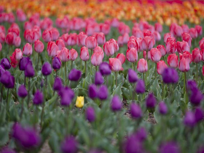 أزهار التوليب