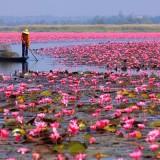 بحيرة زهور اللوتس