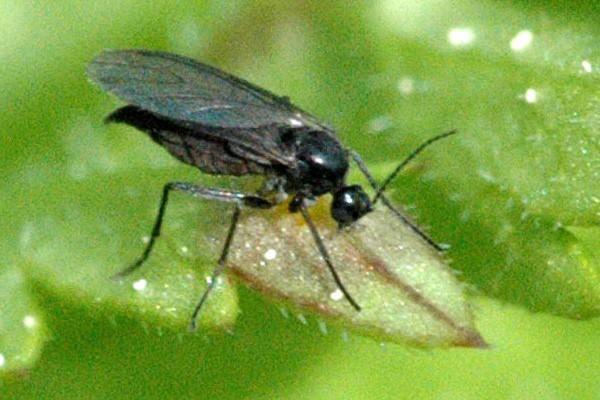 ذباب الفطر