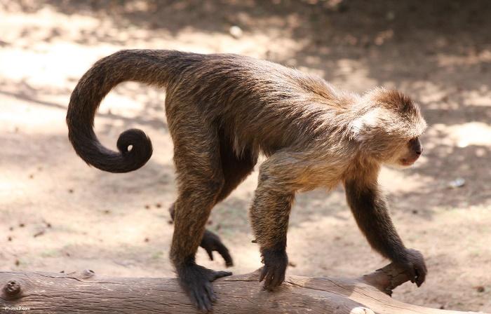 ذيل القرد