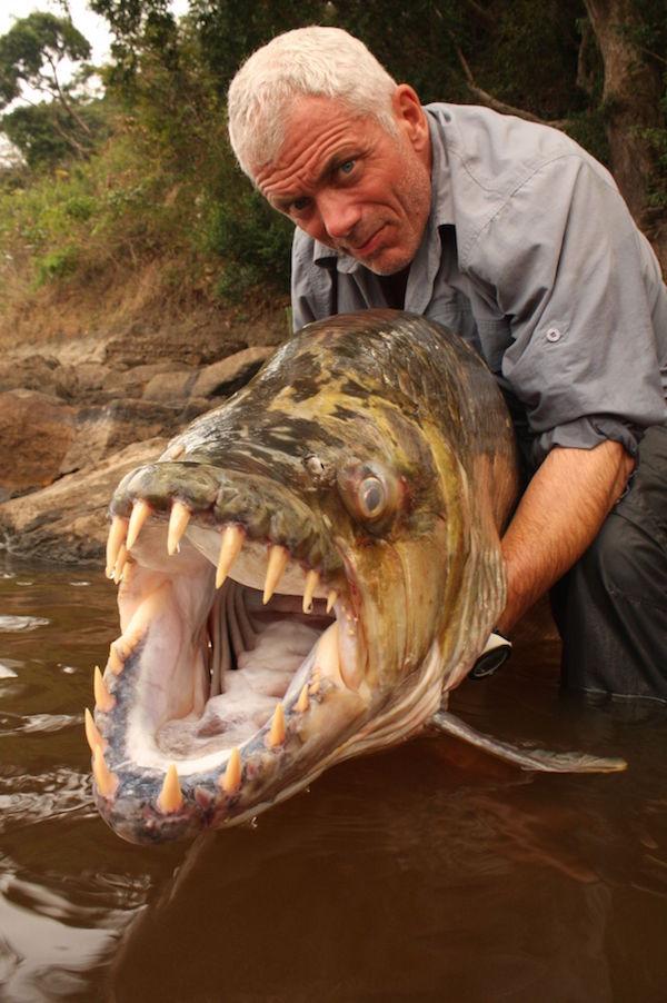 سمكة كونغو النمر