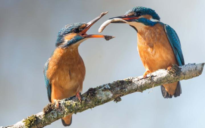طيور الرفراف