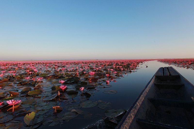 أزهار اللوتس في بحيرة