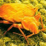 حشرات السرير