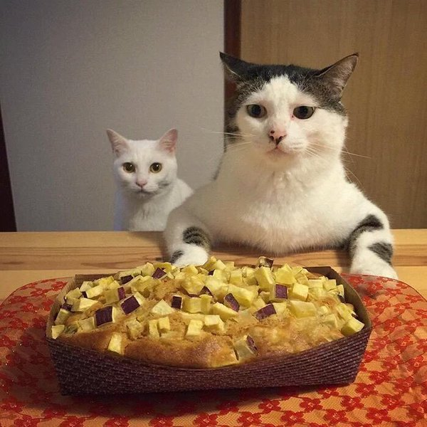 قطط على المائدة