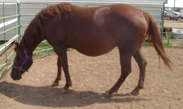 بول الحصان الحامل