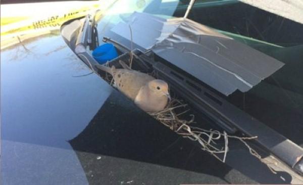 حمامة في سيارة