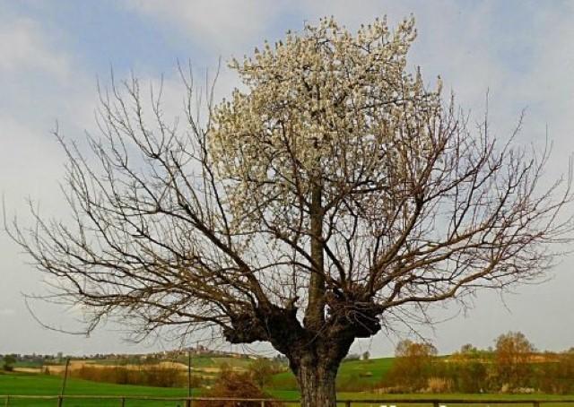 شجرة مزدوجة