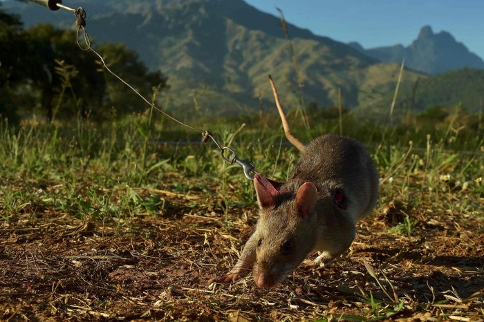 فأر كشف الألغام