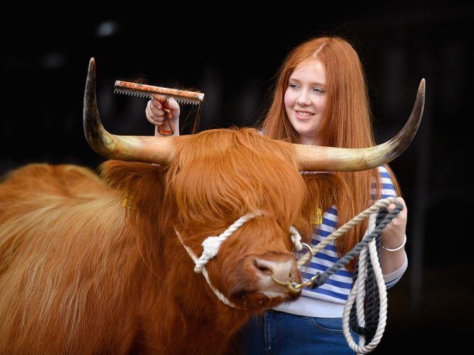 مسابقة لعرض البقر
