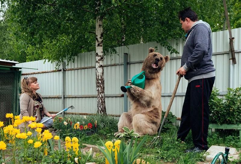 الدب الروسي ستيبان