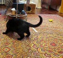حيوان صغير يزعج قطة