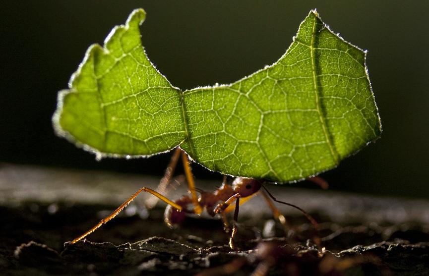 هل تعلم ما الذي يفعله النمل في أوراق الشجر التي يحملها على ظهره؟ coobra.net