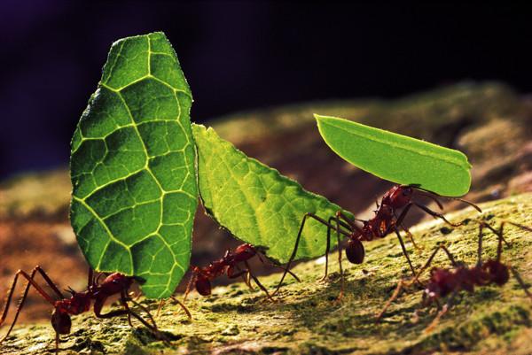 ماذا يفعل النمل باوراق الشجر التي يحملها لمسنكه