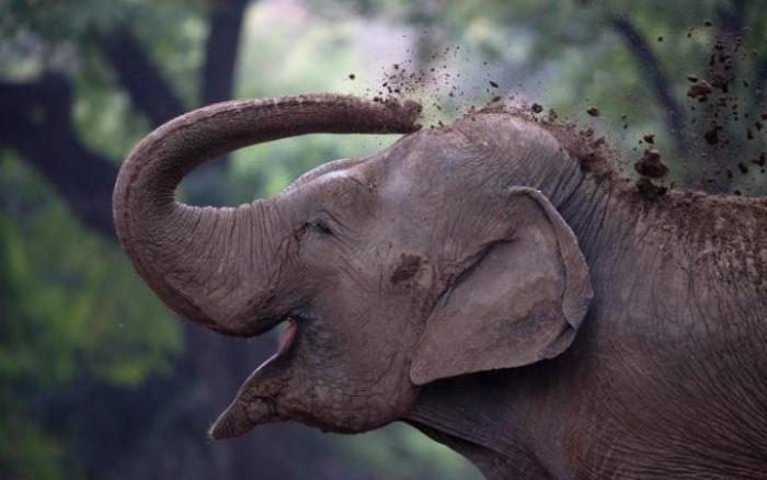 فيل ينثر التراب