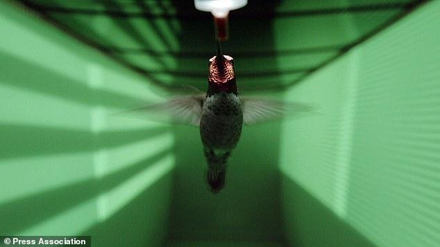 سرعة طائر الطنان