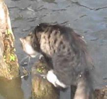 قطو يصيد سمكة