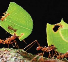 leafcutter ant
