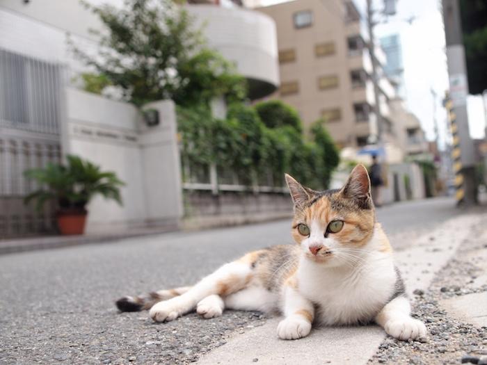 قطط اليابان
