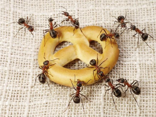 النمل ما يسمن