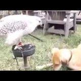 صقر يقوم يُطعم كلب