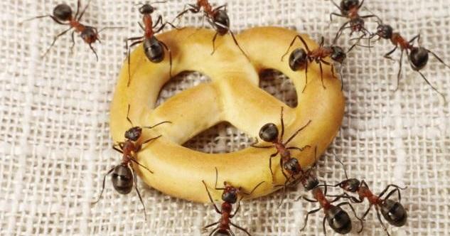 Ants eat