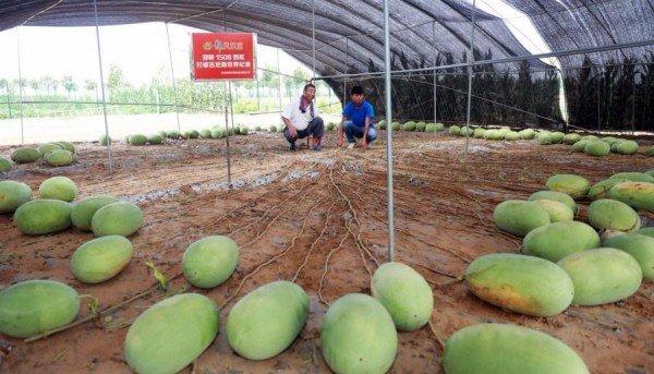 عند حصادها في الصين نبتة بطيخ تطرح 131 ثمرة coobra.net