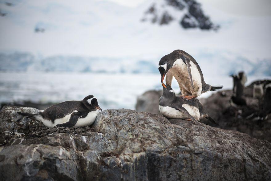 البطاريق القطبية