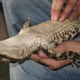 Alligators Fall Asleep